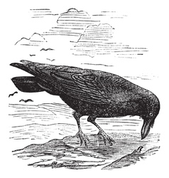 Common Raven engraving vector image