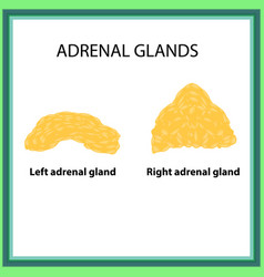 the left and right adrenal gland infographics on vector image