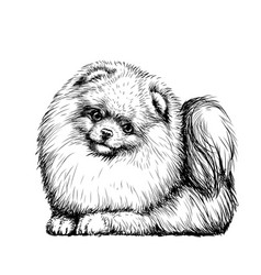 pomeranian small german spitz dog vector image