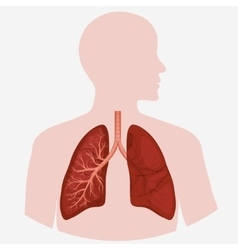 Human Lung anatomy diagram vector image vector image