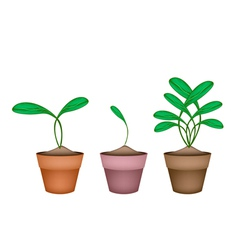 Brussels Prouts Plants in Ceramic Flower Pots vector