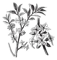 Daphne vintage engraving vector image