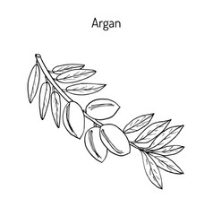 Argan argania spinosa vector