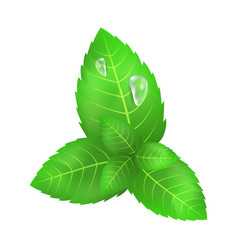 Green leaves mint with two flowing down drops vector