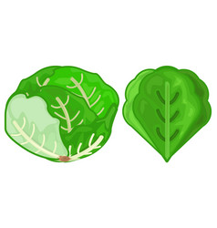 Lettuce icon green fresh vector