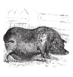 Heudes Pig engraving vector image