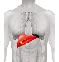 Human liver in body vector