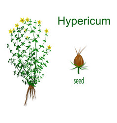 Hypericum vector