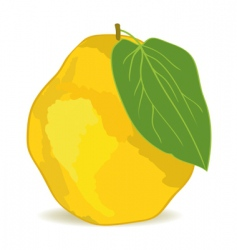 quince vector image vector image
