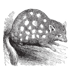 Eastern Quoll Engraving vector image