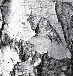 The bark birch vector