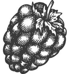 Raspberry hand drawn sketch fruit vector