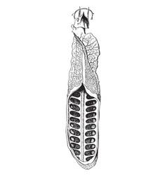 ceratodus lung vintage vector image