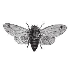Cicada vintage engraving vector image