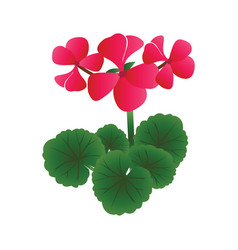 bright pink geranium flowers with green leafs on vector image