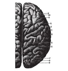 Cerebral convolutions vintage vector