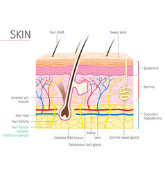 Human anatomy skin and hair diagram vector