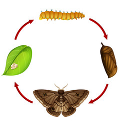 Moth life cycle concept vector