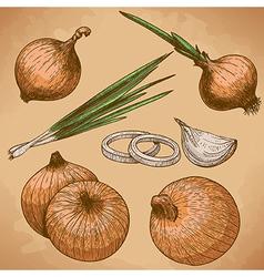 engraving onion retro vector image vector image