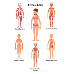 female body human anatomy skeletal and muscular vector image