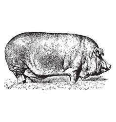 Poland china pig vintage vector