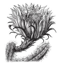 Nightblooming Cereus vintage engraving vector