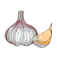 fresh garlic bulb seasoning hand drawn style food vector image