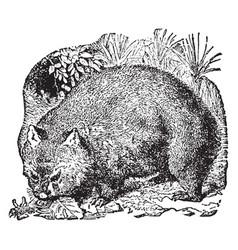 Wombat vintage vector