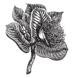Mottlecah vintage engraving vector image
