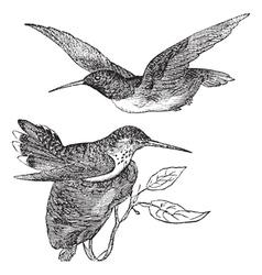 Annas Hummingbird vintage vector image vector image