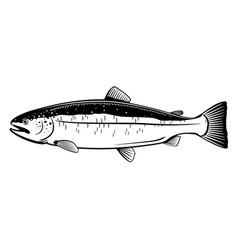Atlantic salmon fish vector