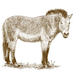 Engraving Przewalskis horse vector