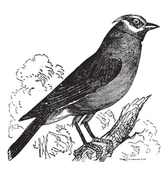 Cedar Waxwing vintage engraving vector