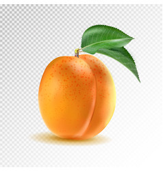ripe orange apricot on transparent vector image