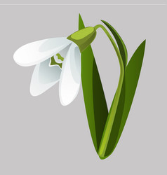 blooming snowdrop isolated on grey background vector image