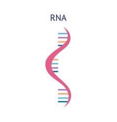scientific icon structure a rna molecule vector image