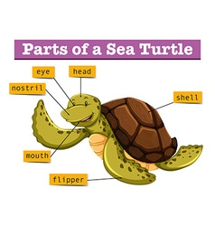 Diagram showing different parts of turtle vector image