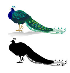 peacock beauty exotic bird natural and silhouette vector image