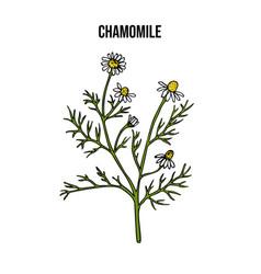 Chamomile or camomile matricaria chamomilla vector