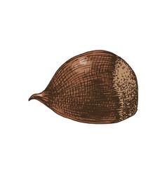 hand drawn chestnut vector image