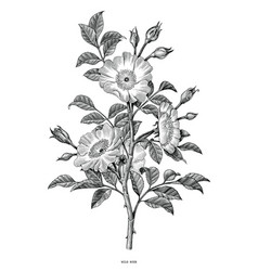 Wild rose hand drawing black and white vintage vector