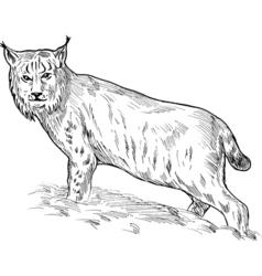 Eurasian lynx drawing vector