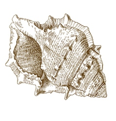 engraving spiral seashell vector image vector image