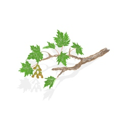 Maple branch and leaves on white background vector image vector image