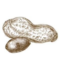 Engraving peanuts pod vector