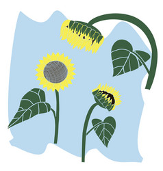 flower blooming sunflower vector image