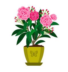 oleander blooming houseplant vector image