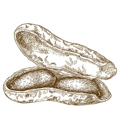engraving shelled peanuts pod vector image