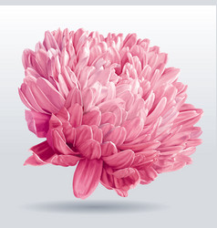 luxurious pink aster flower vector image vector image