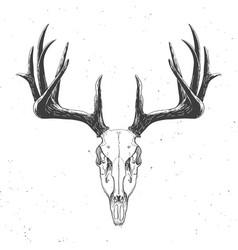 deer skull on white vector image vector image